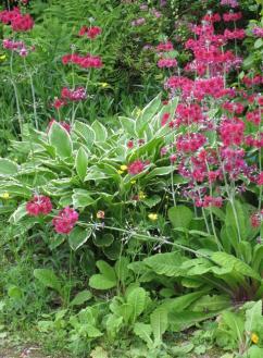 Japonski jegli? s svojimi �ivimi cvetovi dopolnjuje liste host.