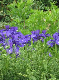 Perunika na polsen?ni gredi v dru�bi praproti. Suli?asti listi perunike in modri cvetovi lepo dopolnjujejo nacepljene liste praproti.
